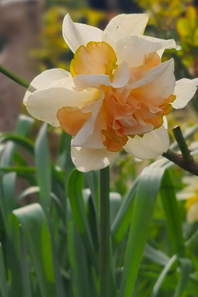 Frilly double daffodil