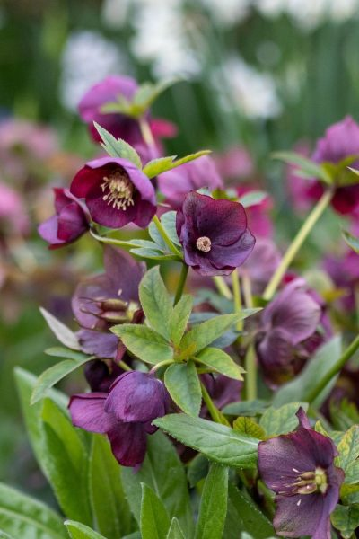 Hellebores for shady borders