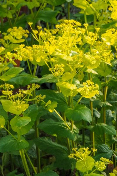 Easy self seeding smyrnium perfoliatum is one of my favourite plants for shade