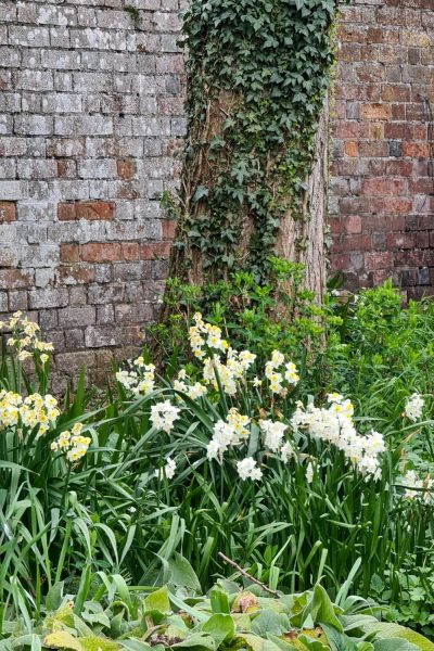 Narcissi growing under a tree