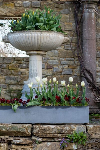 pots and troughs of tulips