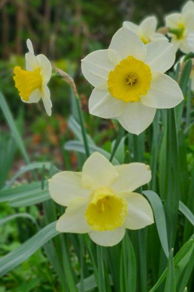 Pretty daffodils