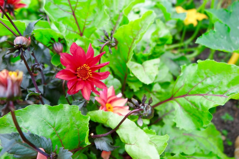 How to use dahlias in your vegetable garden