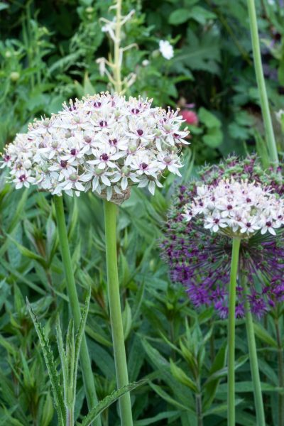 Alliums in a cottage garden