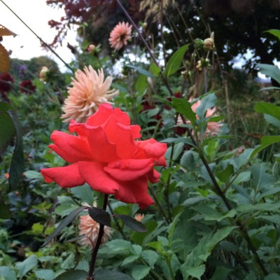 'Cheshire Life' rose with dahlias