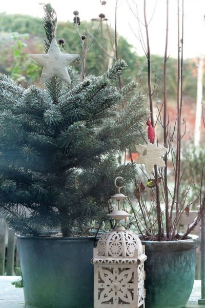 Blue spruce in a pot for Christmas