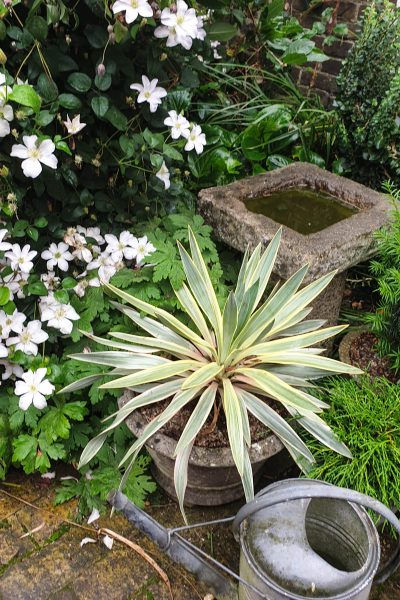 Variegated evergreen yucca in a pot