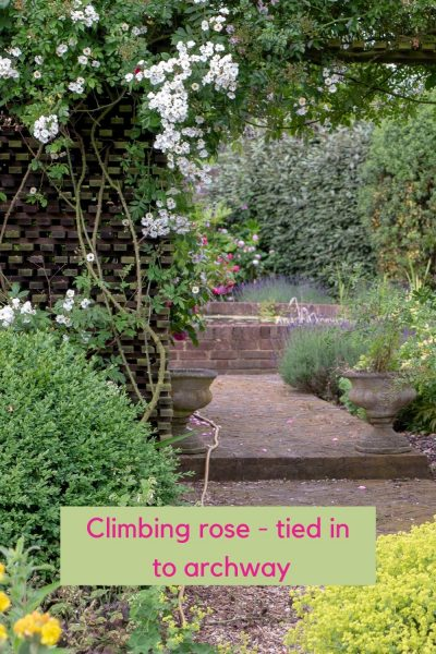 A climbing rose will need tying in.