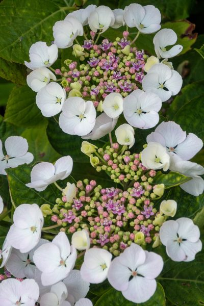 Hydrangeas for shade