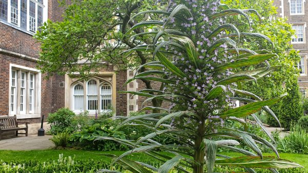 Echiums in Middle Temple gardens