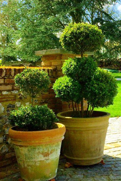Cloud-pruned topiary in pots