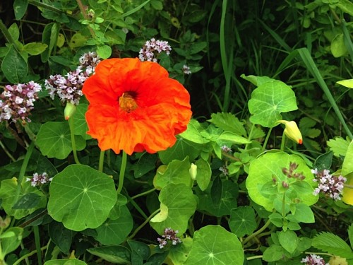 Self-seeded nasturtiums
