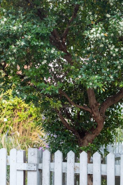Arboles de mirto para jardines costeros