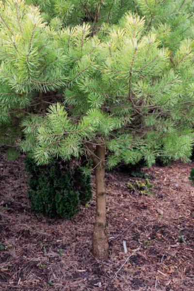 unknown pine