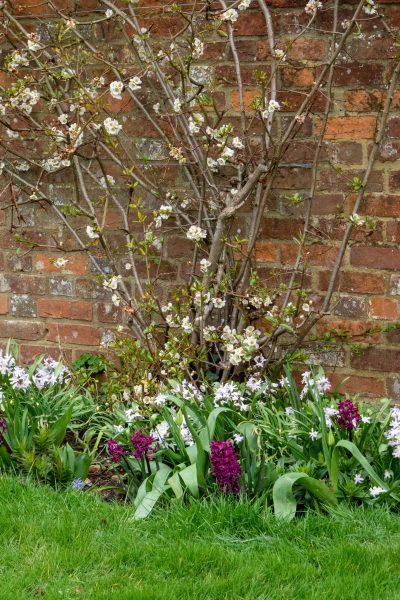 Hyacinths at Doddington Place Gardens
