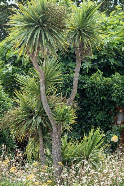 Cordylines for coastal gardens
