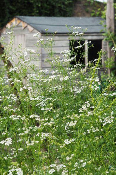 Self-seeding coriander
