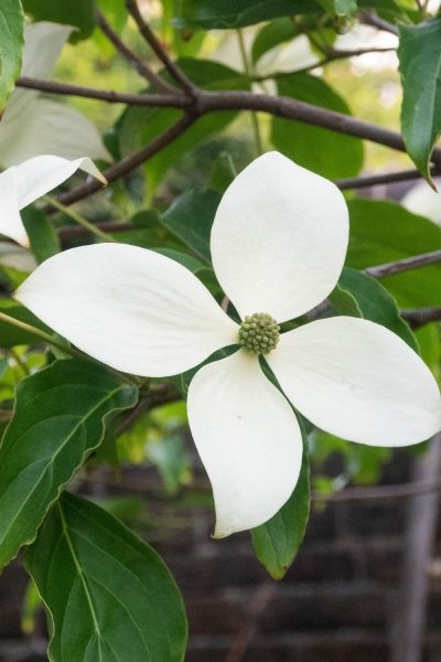Cornus Norman Haddon for a shady garden corner