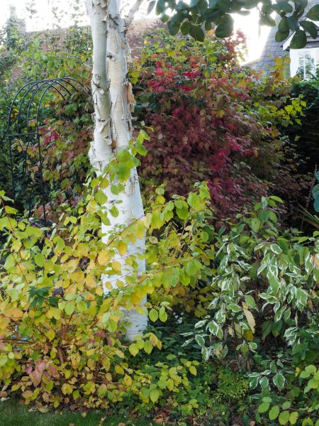 Cornus are good in autumn as well as winter