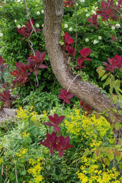 Smynium perfoliatum in the May garden