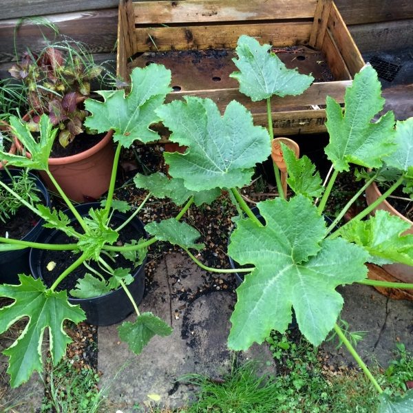 Courgettes in pots Baby Bio test