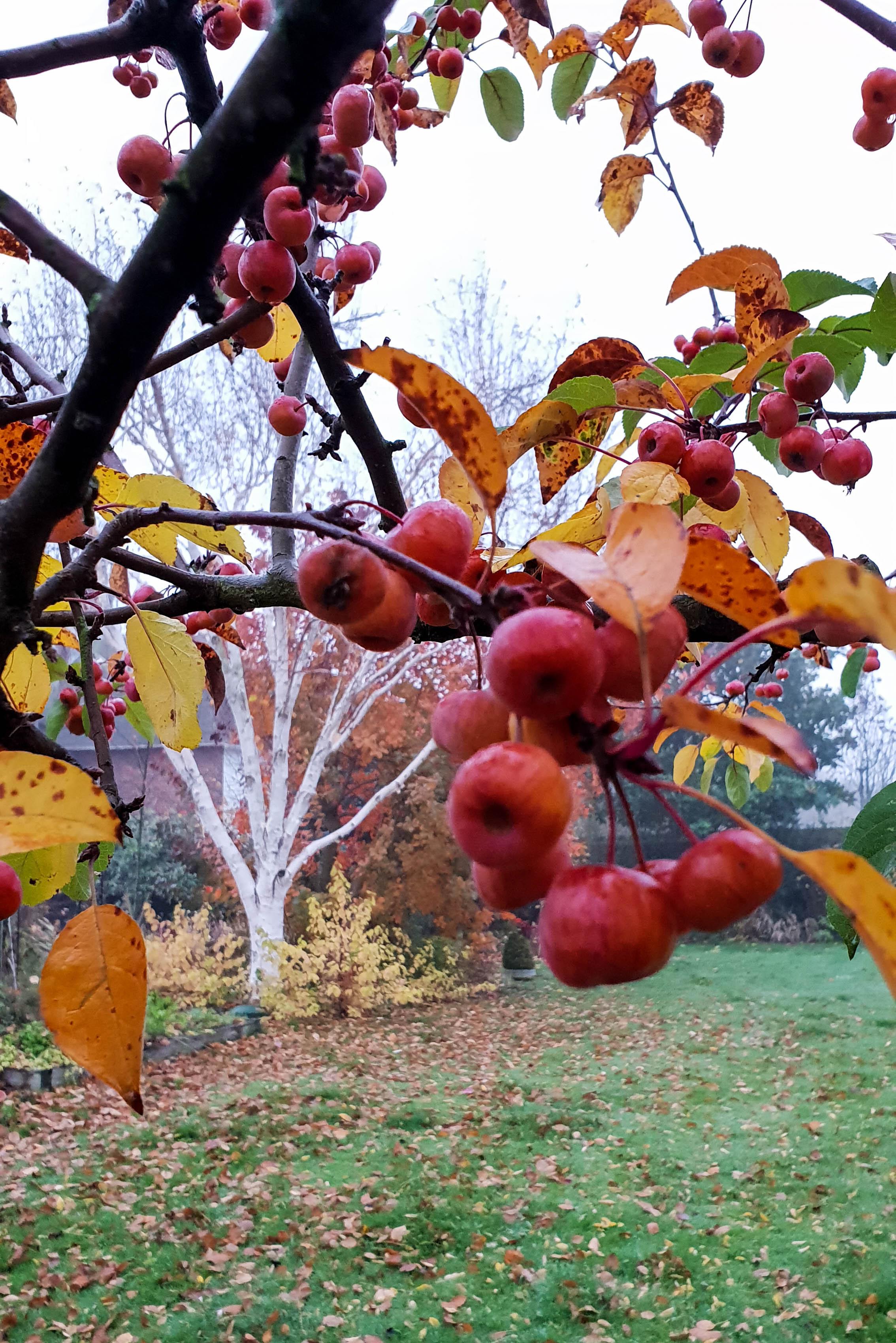 Silver birch is a striking tree