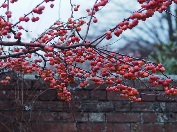 Crab apples in February