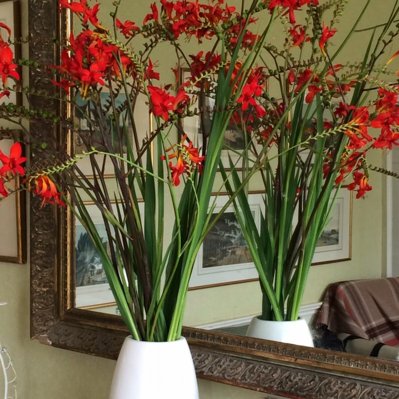 Crocosmia 'Lucifer' in vase