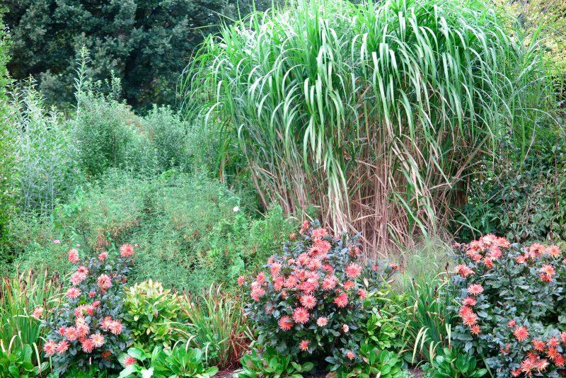 Dahlias - plants for long season borders
