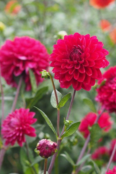 Dahlia 'Con Amore' in the September garden