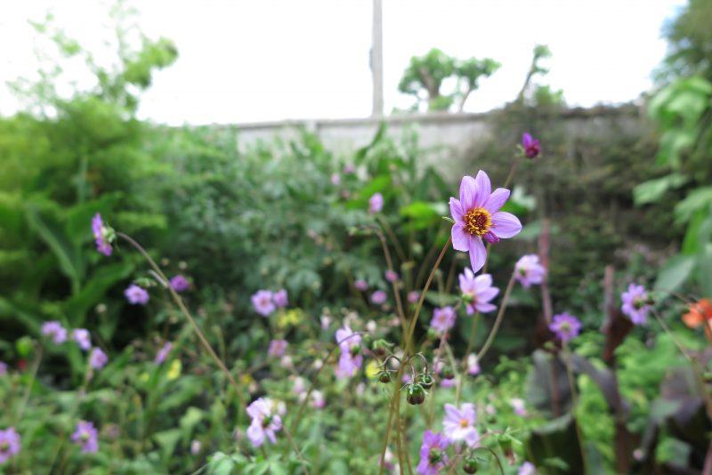 Dahlias are easy to grow