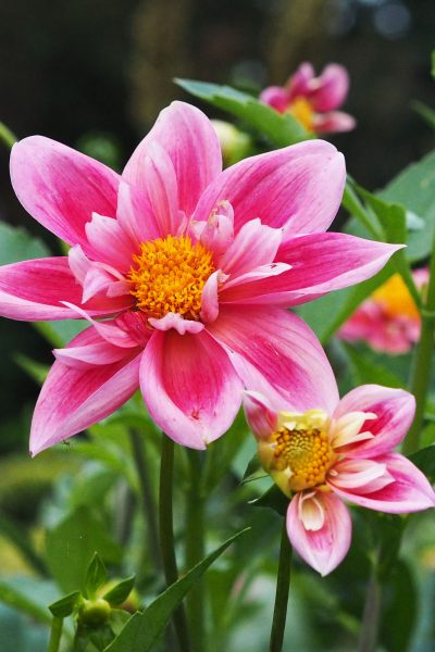 Stunning dahlias at the Salutation - Dahlia Pink 'Pat and Perc'