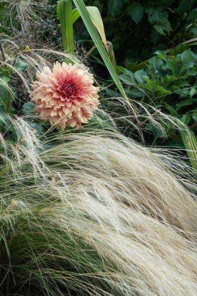 Grow dahlias with grasses, such as Stipa tenuissima