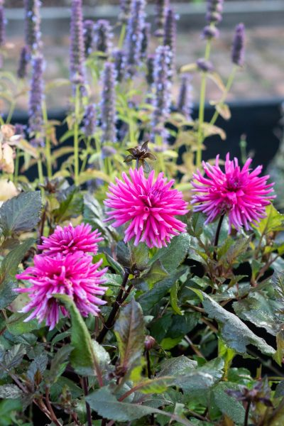 What to grow with dahlias