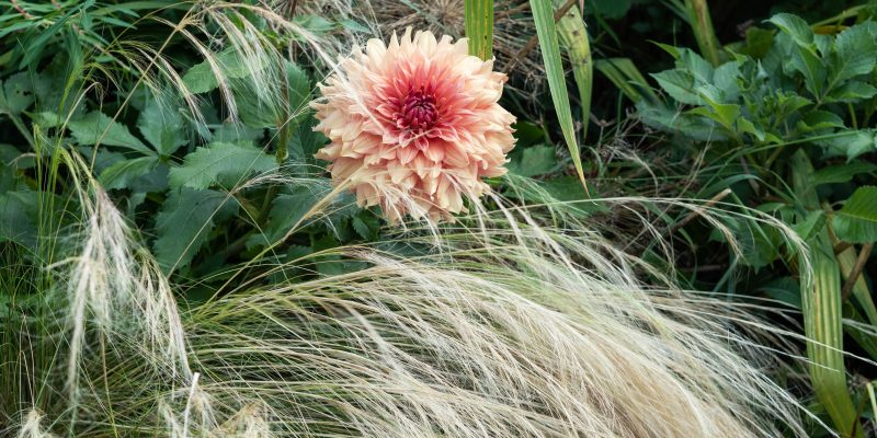 How to care for your dahlias in winter