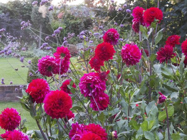 No dig feeds your dahlias too.