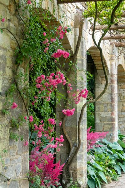 Dark pink rose lining walkway at Hever Castle