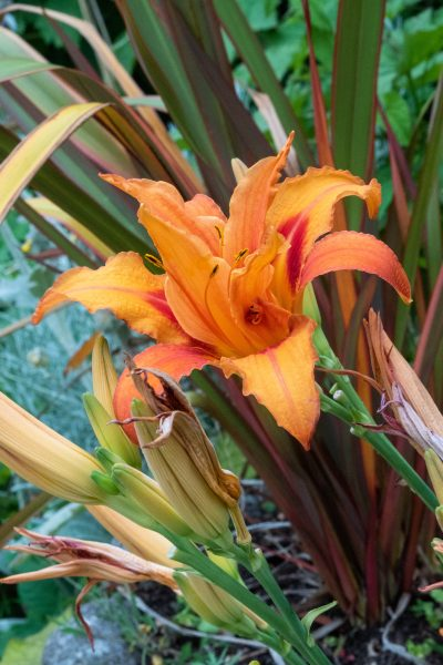 Day lily 'Flore Pleno' spreads around borders