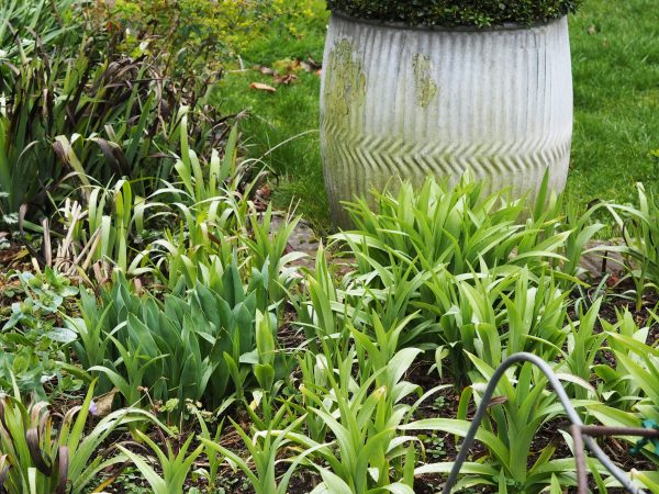Daylilies are invasive
