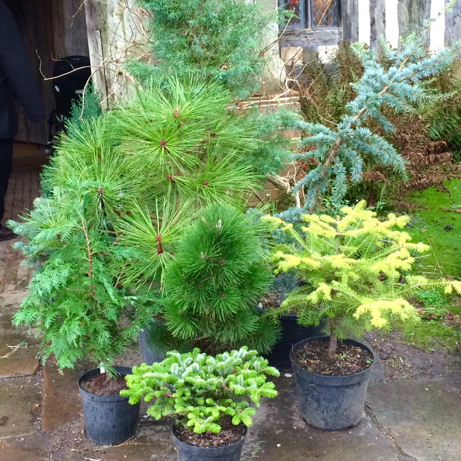 Conifers in pots as garden Christmas decorations