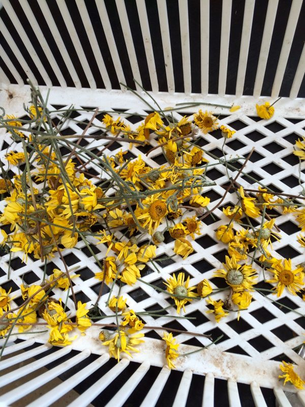 Dyer's chamomile drying out