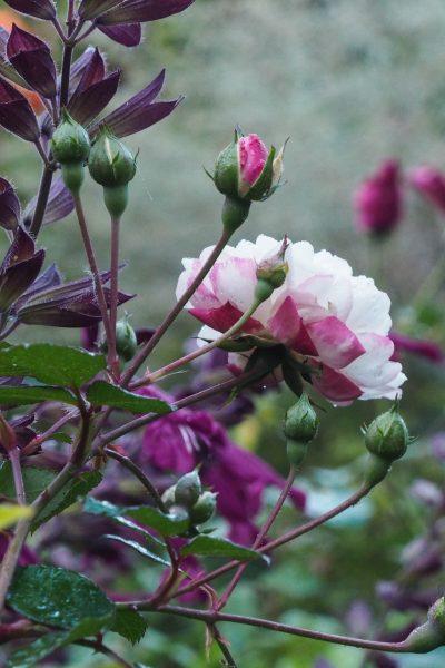 Hand pruned Cecile Brunner roses