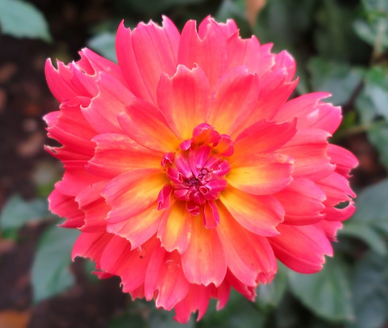 How to use dahlias in your garden