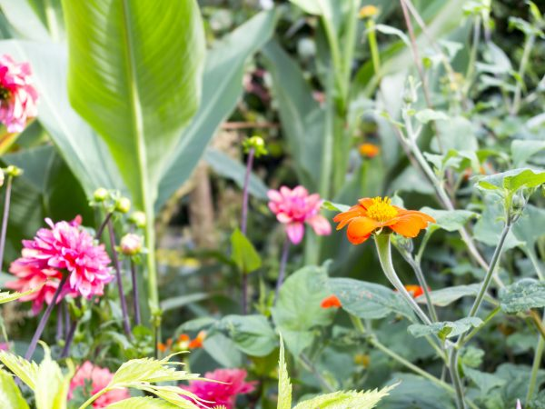 Exotic dahlias and tithonia