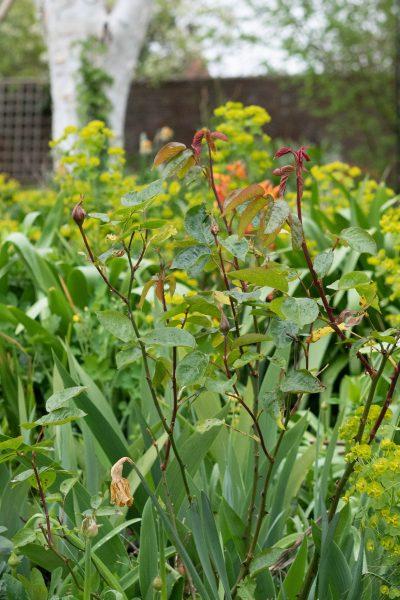 Divide perennials in spring