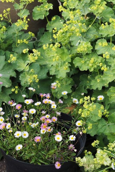 Seaside daisies and lady's mantle