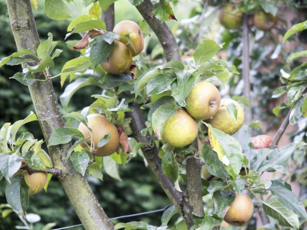 Cordon apple trees from Amazon