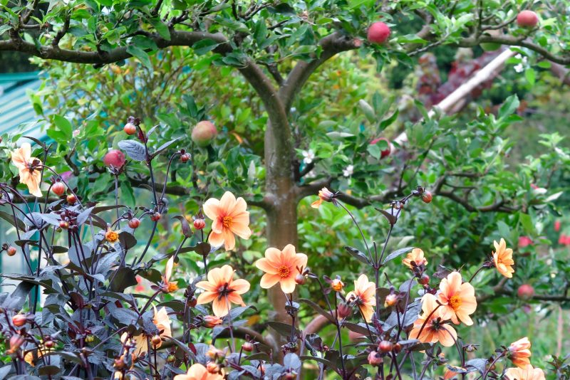 How to use dahlias in veggie gardens