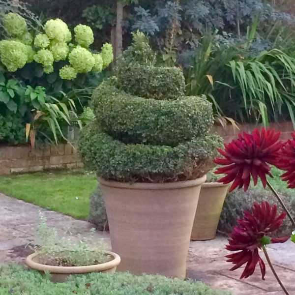 Spiral topiary in pot