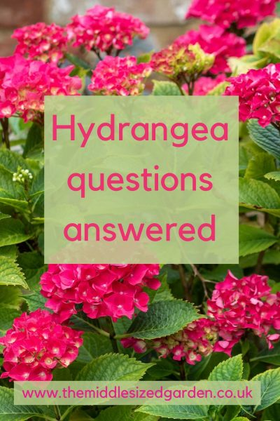 Common questions about hydrangeas